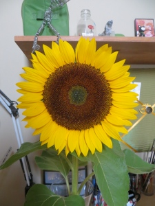 A Sunflower from beginning to end.